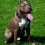 Dog_PitBull-200x200